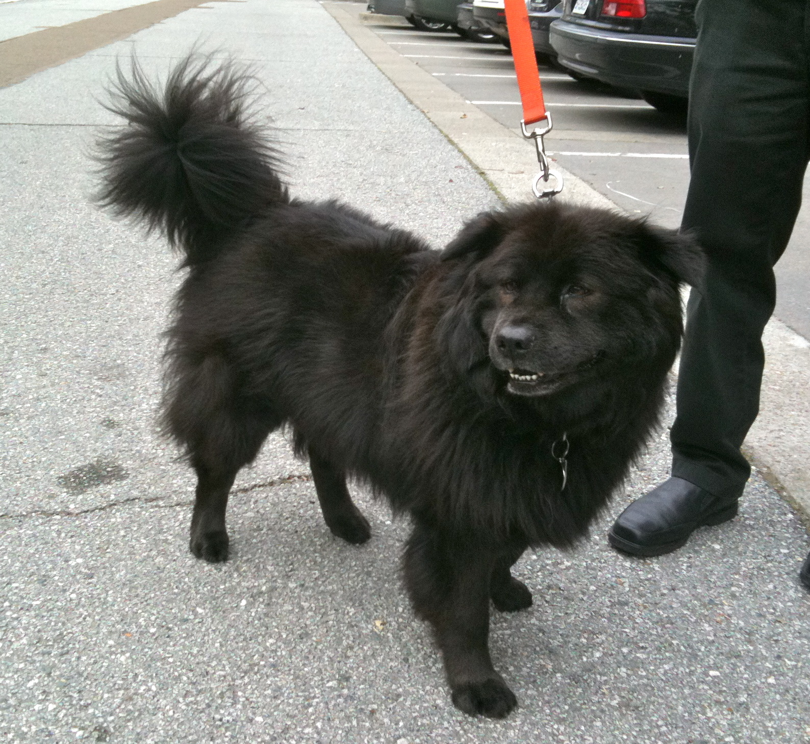 Ciao Ciao Dog: Dog Of The Day: Madeline The Chow Mix