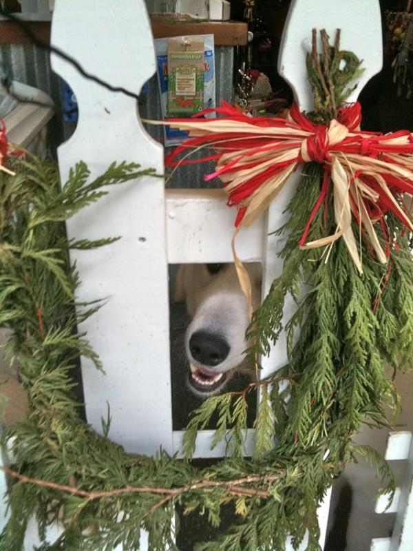 Kuvasz hiding behind a Christmas wreath.