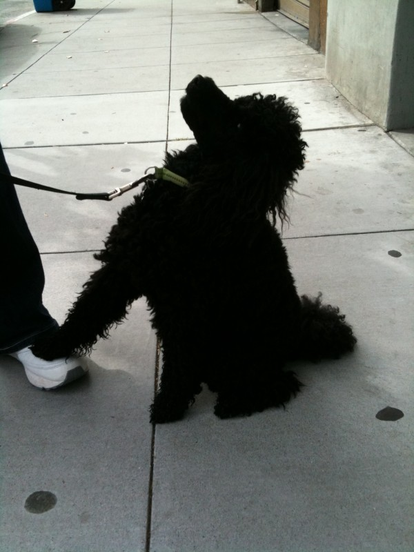 Black Giant Poodle