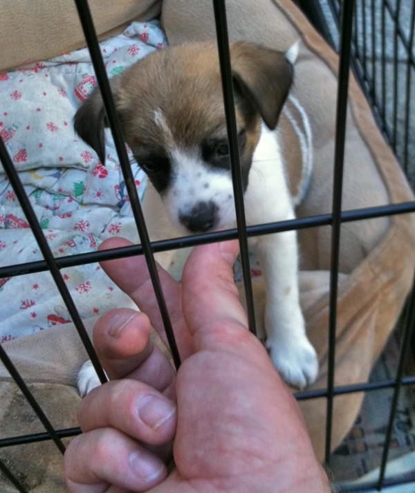 Jack Russel Terrier Puppy