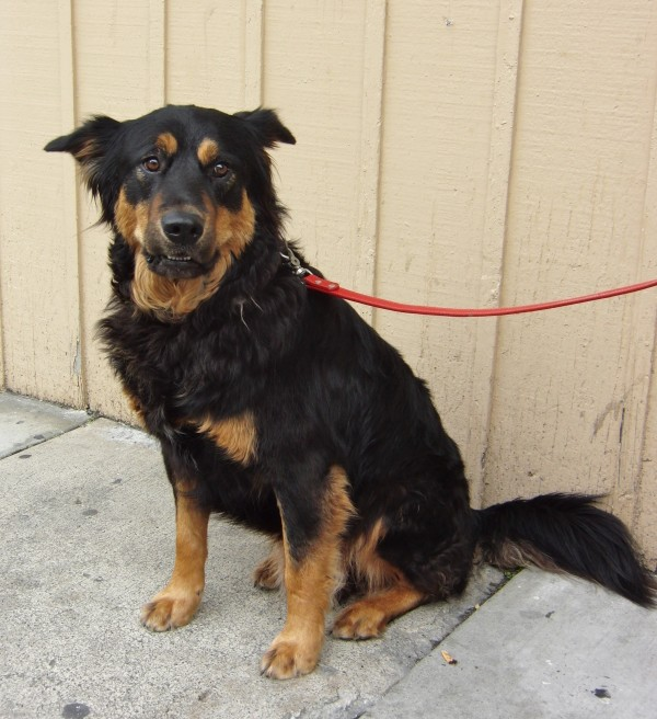 German Shepherd/Rottweiler Mix