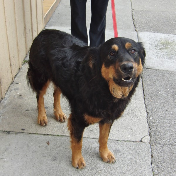German Shepherd Rottweiler Mix German shepherd/rottweiler mix