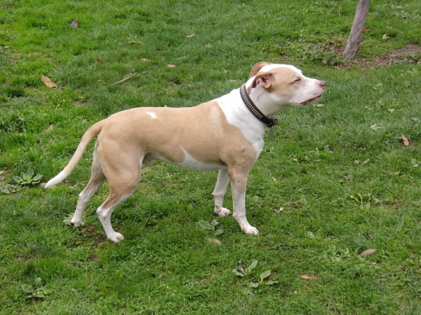 American Pit Bull Terrier