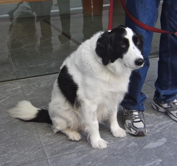English Springer Spaniel/American Eskimo Dog Mix