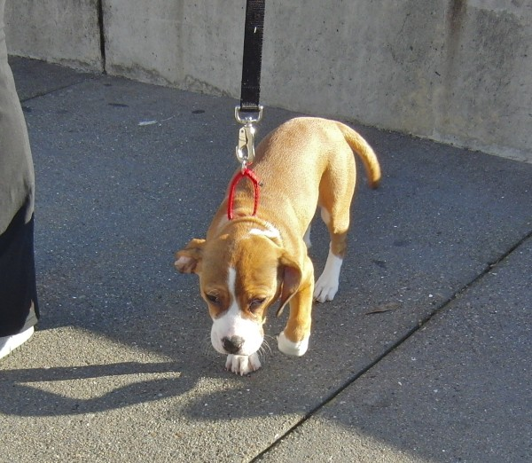 Boxer/Cocker Spaniel Puppy