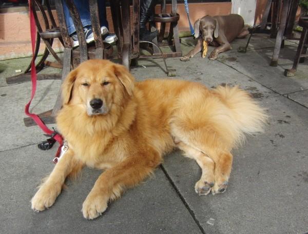 Bernese Mountain Dog/Golden Retriever Mix and Weimaraner