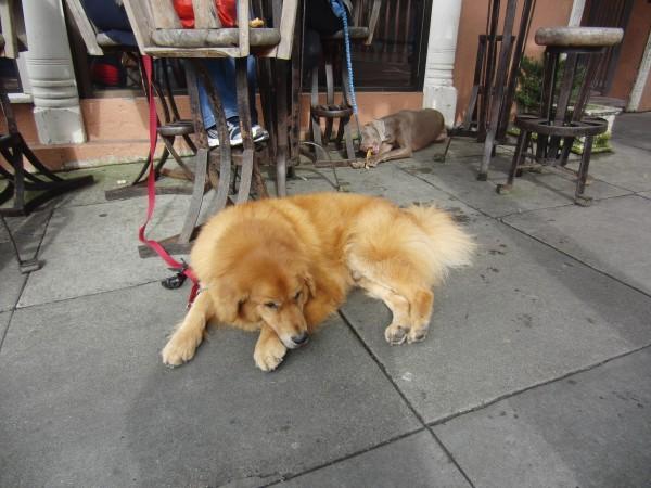 Weimaraner and Bernese Mountain Dog/Golden Retriever Mix