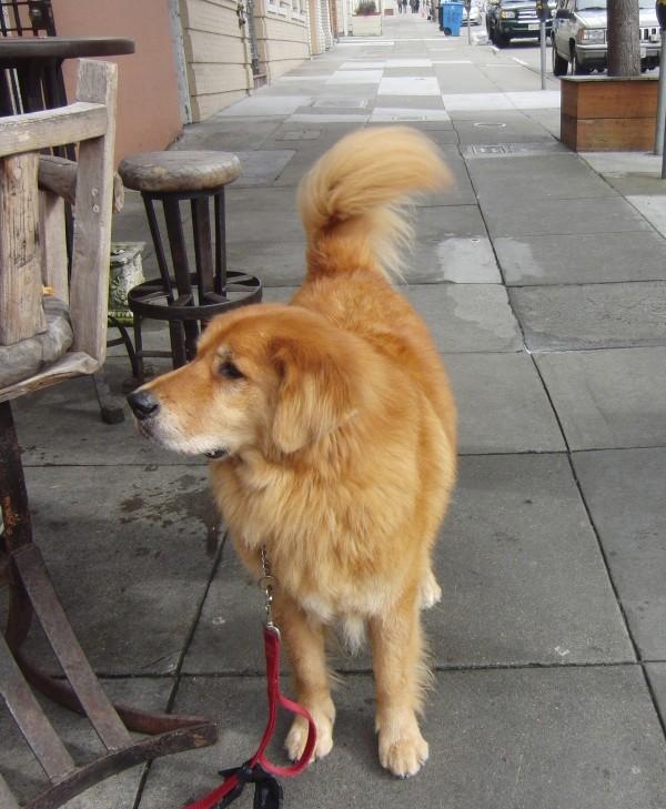 Half Golden Retriever, Half Bernese Mountain Dog