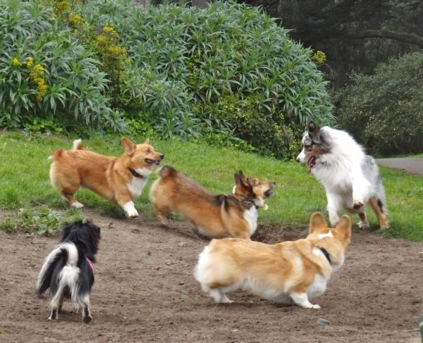 Corgi-Australian Shepherd Standoff