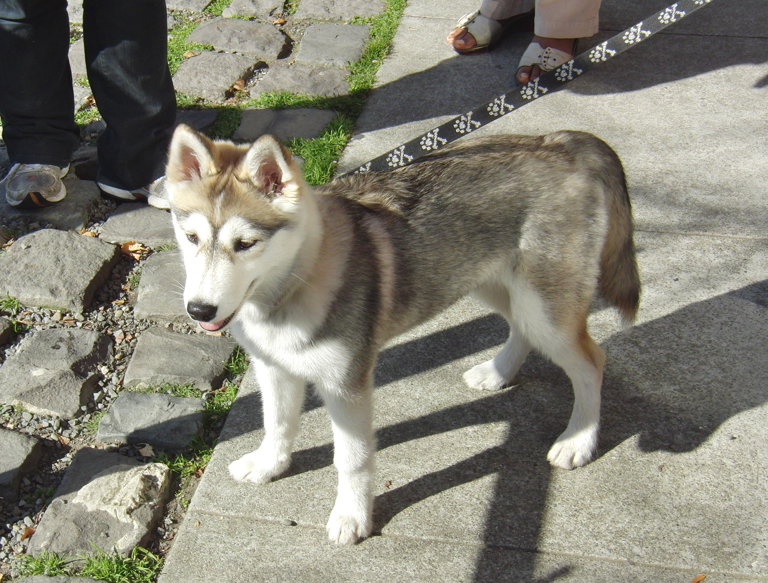 Image - Black-siberian-husky-wolf-mix-wallpaper-2.jpg ...  |Black Siberian Husky Wolf Mix