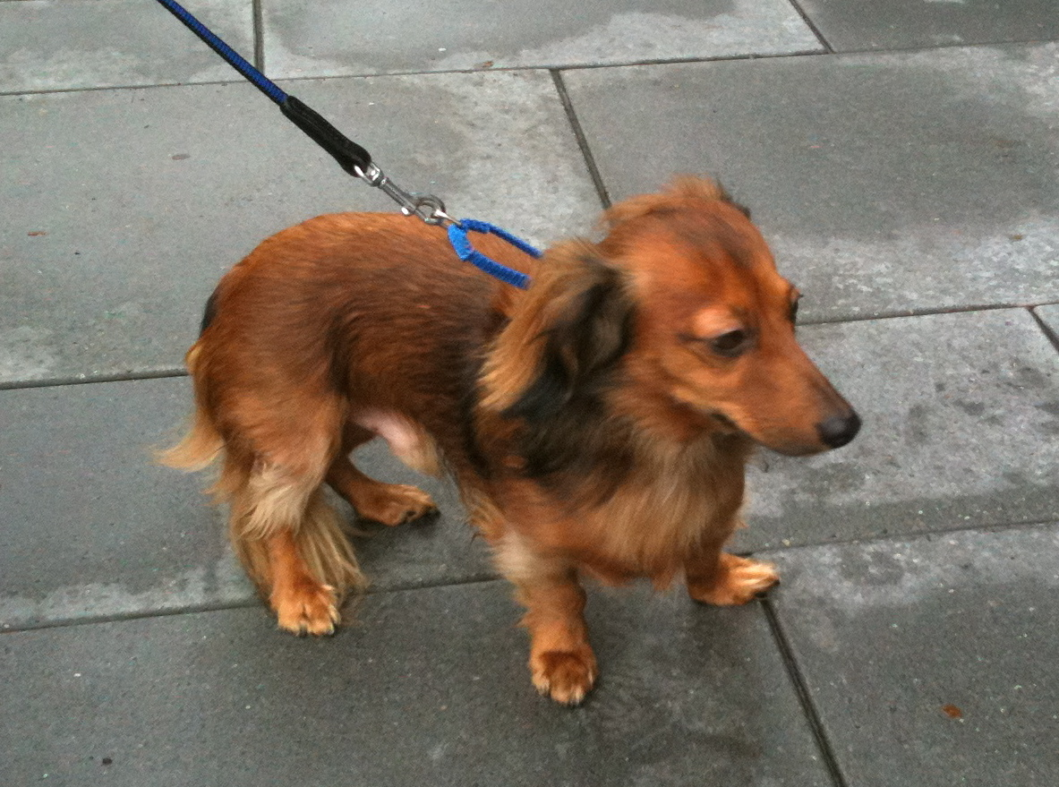 Pics photos dachshund chihuahua dog mix dogs pictures photos pics - Long Haired Dachshund
