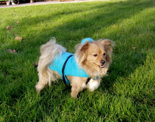 Long-Haired Chihuahua/Poodle Mix