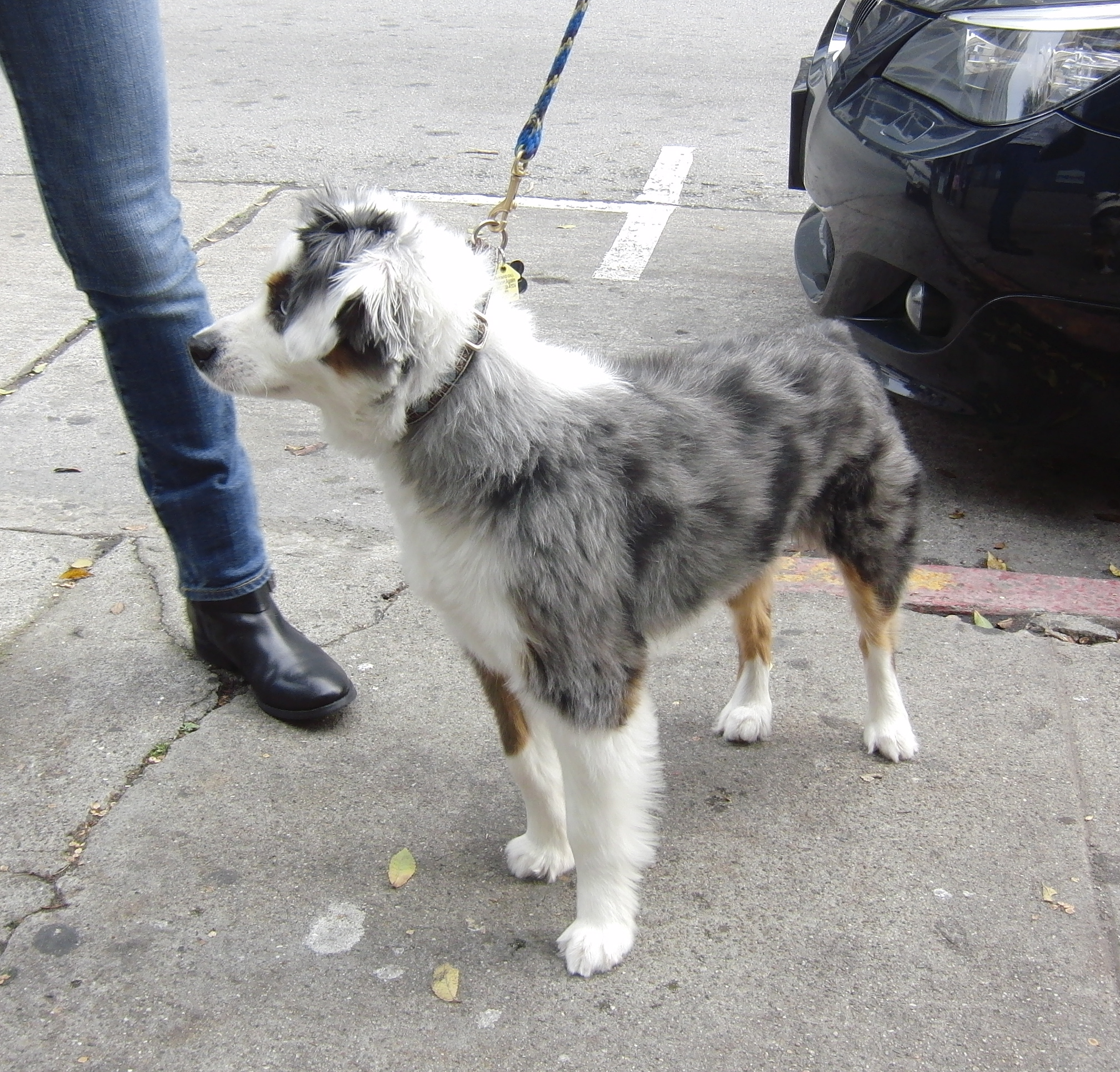 Dog Of The Day Hobo The Miniature Australian Shepherd The Dogs Of