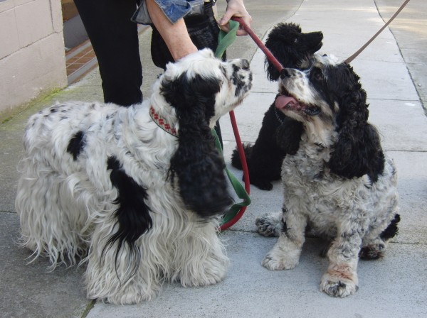 American Cocker Spaniels and Poodle