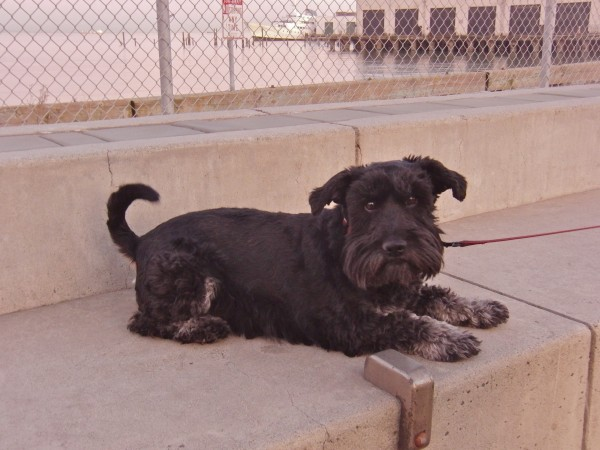 Scotch Terrier Mix