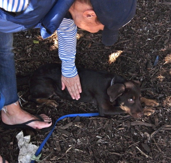 Rottweiler Mix Puppy
