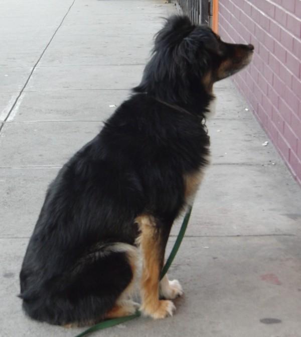 Dog of the day charli the australian shepherd border collie mix