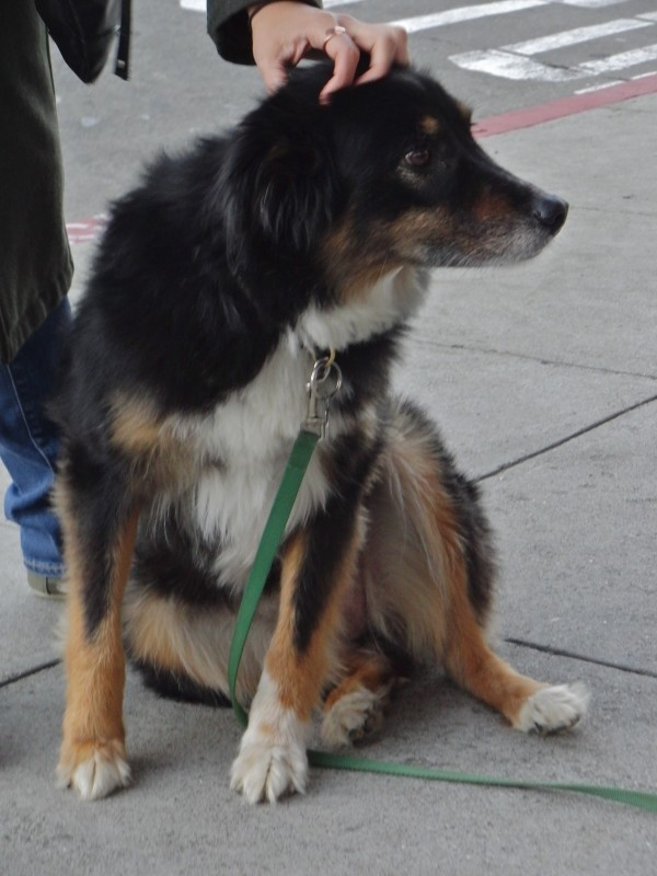 Australian Shepherd/Border Collie Mix
