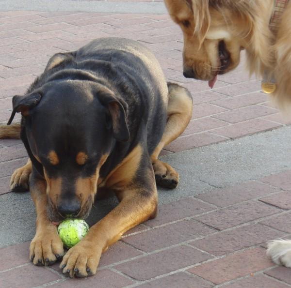 Golden Retriever and Rottweiler