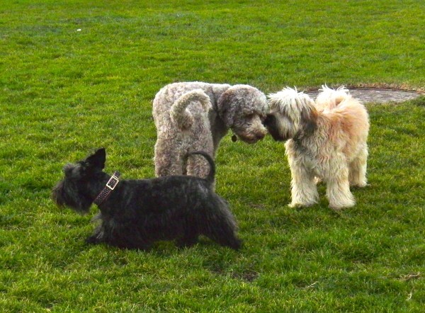 Scottish Terrier, Standard Poodle, and Unidentified Fluffy Dog