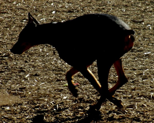 Running Doberman Pinscher