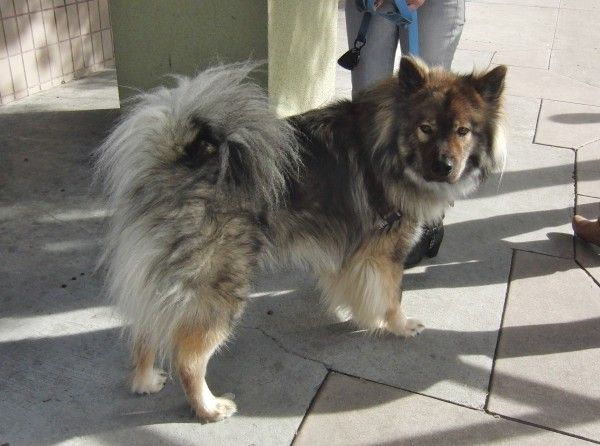 Chow/Malamute Mix