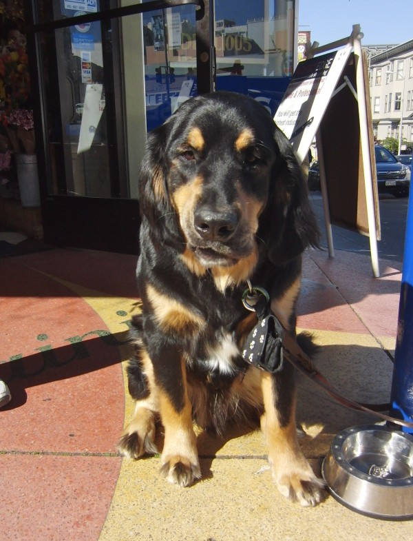 Bernese Mountain Dog/Golden Retriever Mix