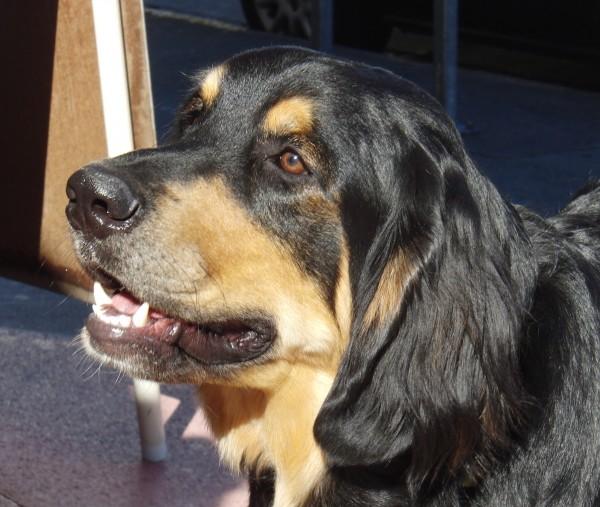 Dog of the Day: Bernese Mountain Dog/Golden Retriever Mix ...