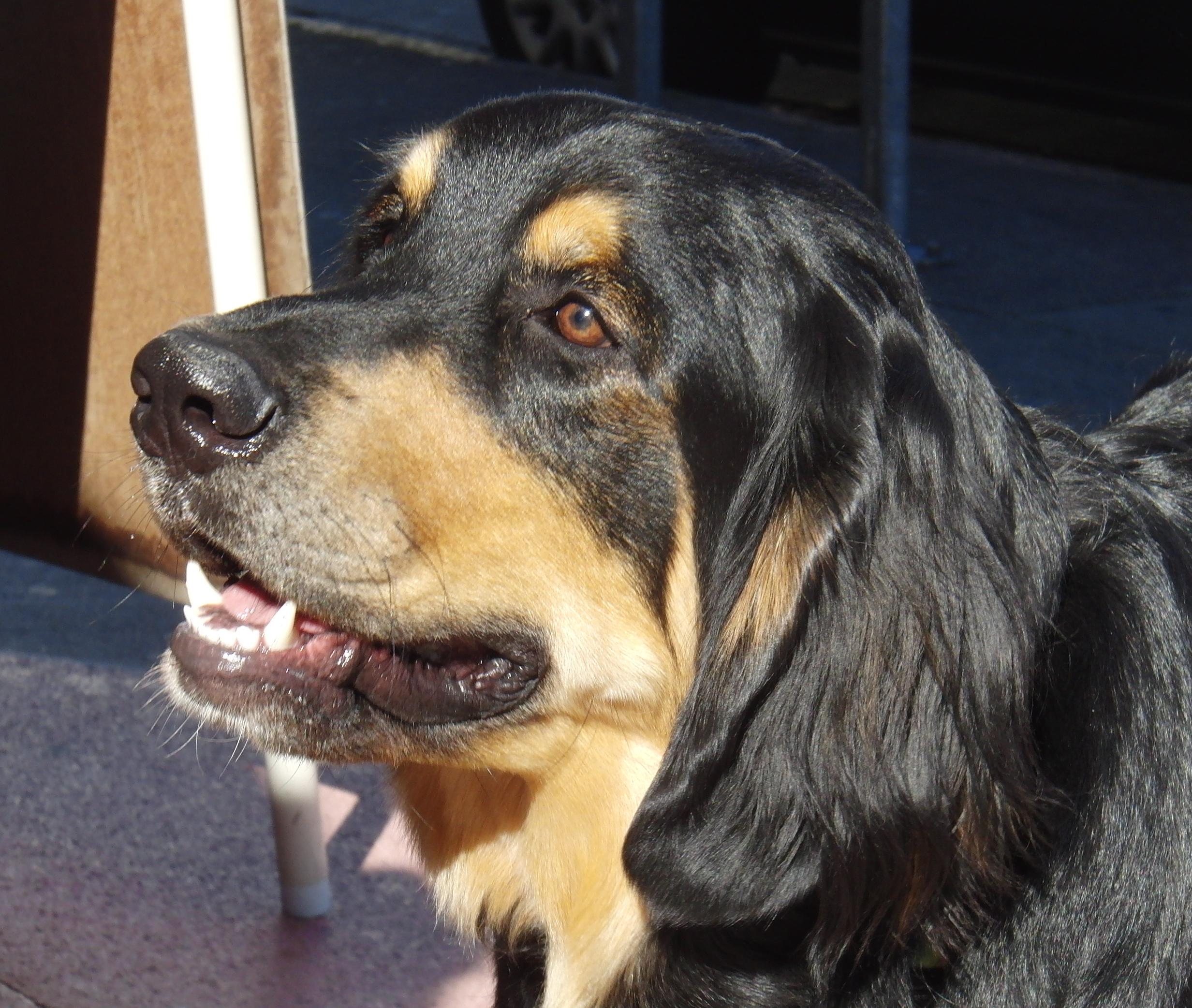 Bernese Mountain Dog/Golden Retriever Mix