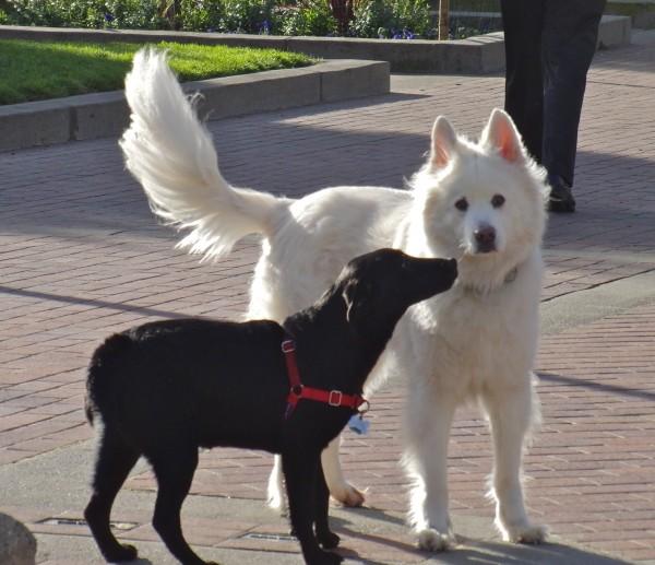 Black Labrador Retriever Puppy and White German Shepherd Mix Friend