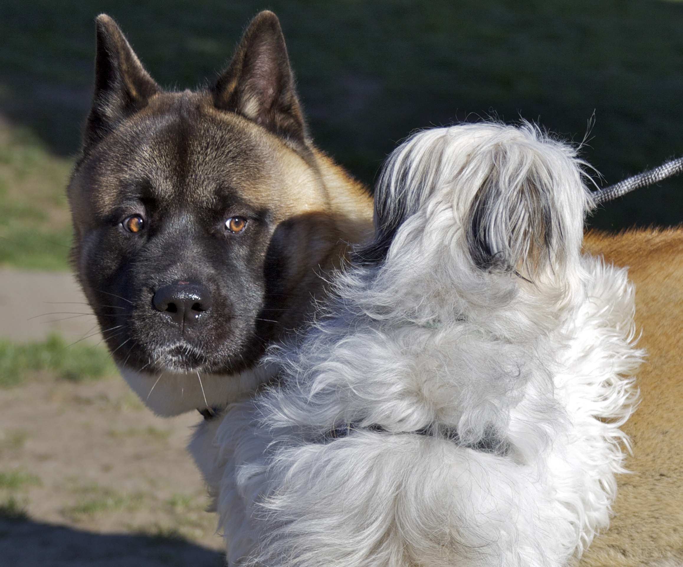 Double Dog Day Akita And Maltese Mix The Dogs Of San