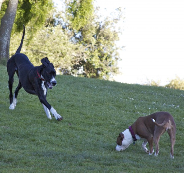 Great Dane and American Bulldog