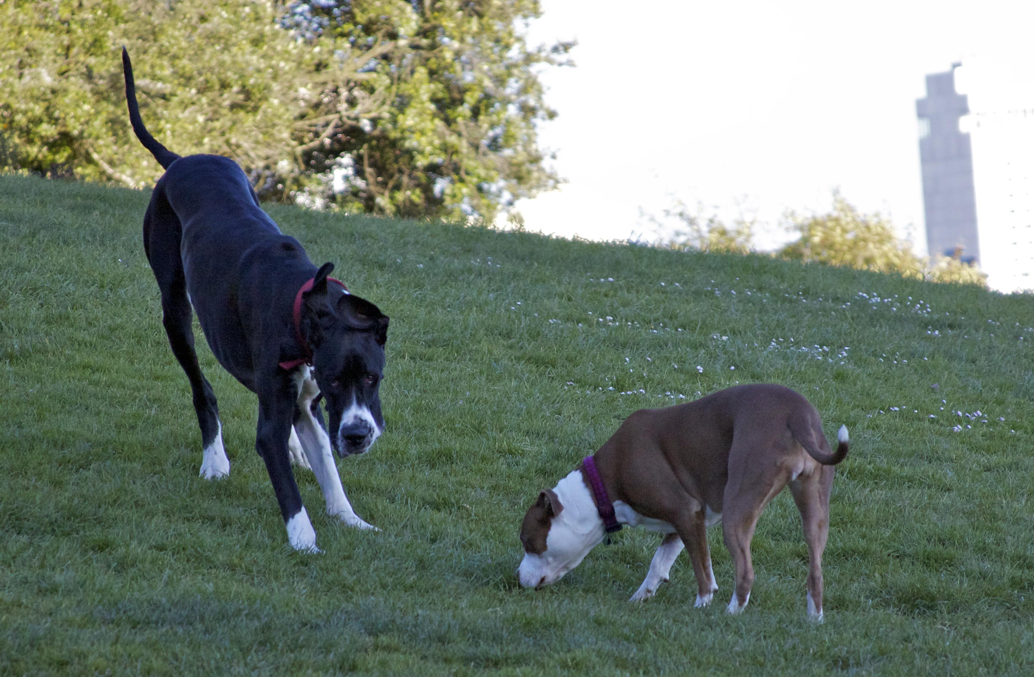 Great Dane and American Bulldog