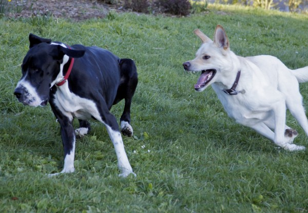 Great Dane and White German Shepherd/Greyhound Mix