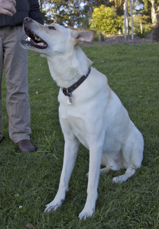 White German Shepherd/Greyhound Mix