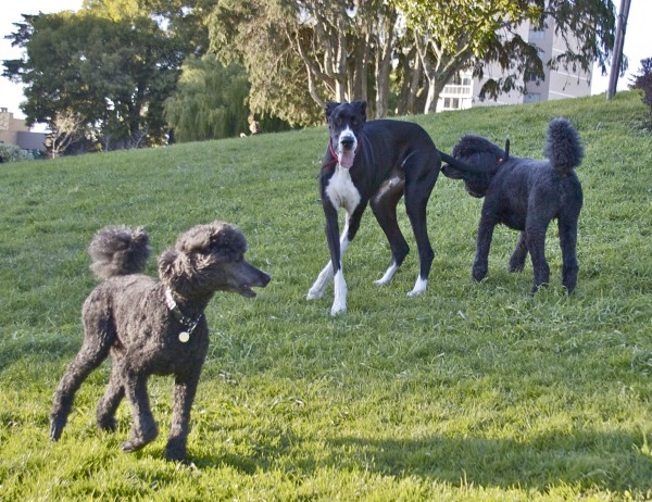 Great Dane and Two Standard Poodles