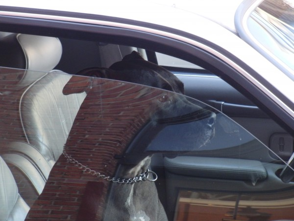Pit Bull in a Stretch Limo