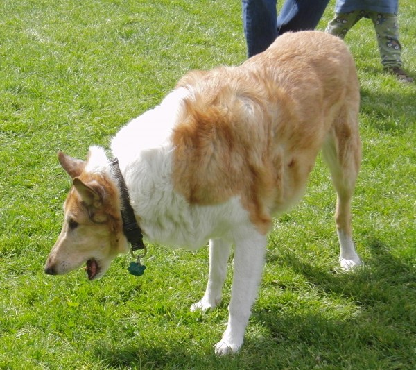 Smooth-Coated Collie