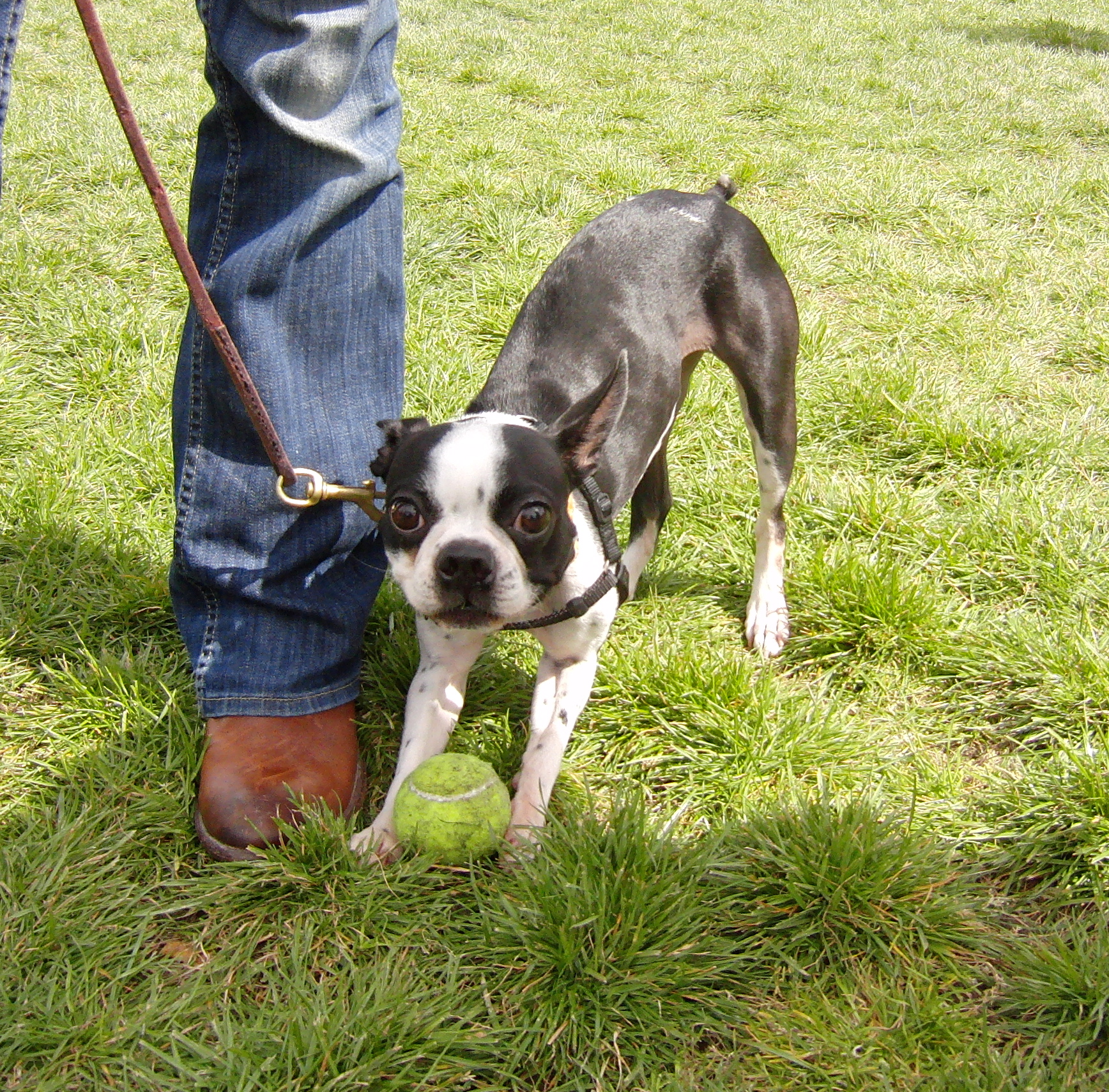 Boston Terrier with Ball