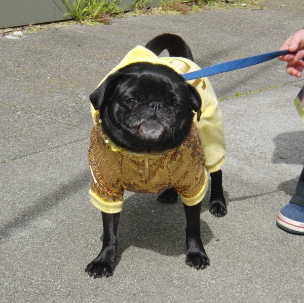 Pug in Gold Sequins