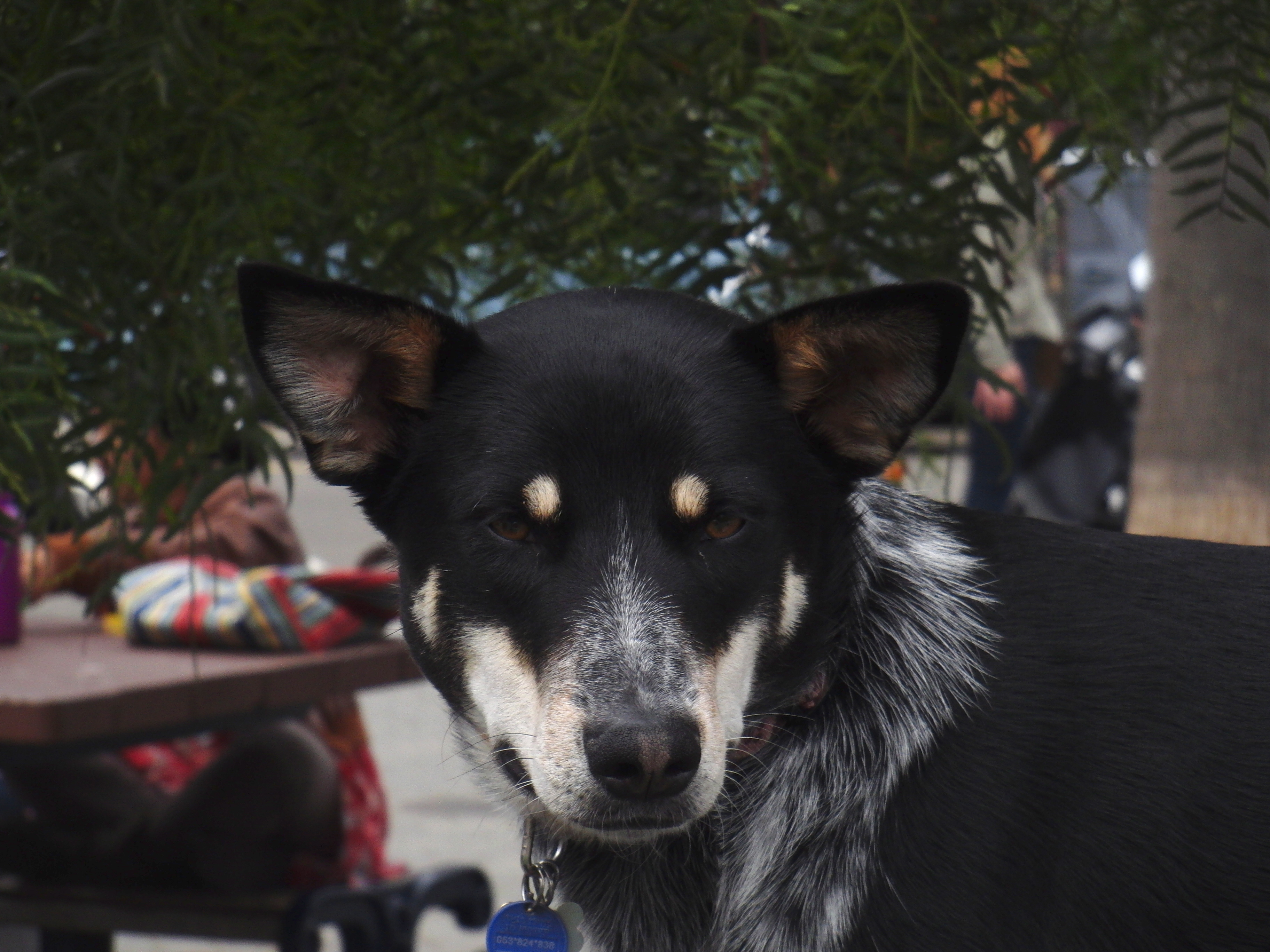 Australian Cattle Dog/German Shepherd Mix