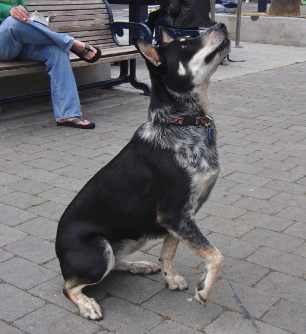 Dog of the Day: Betty the Blue Heeler/German Shepherd - The Dogs of ...