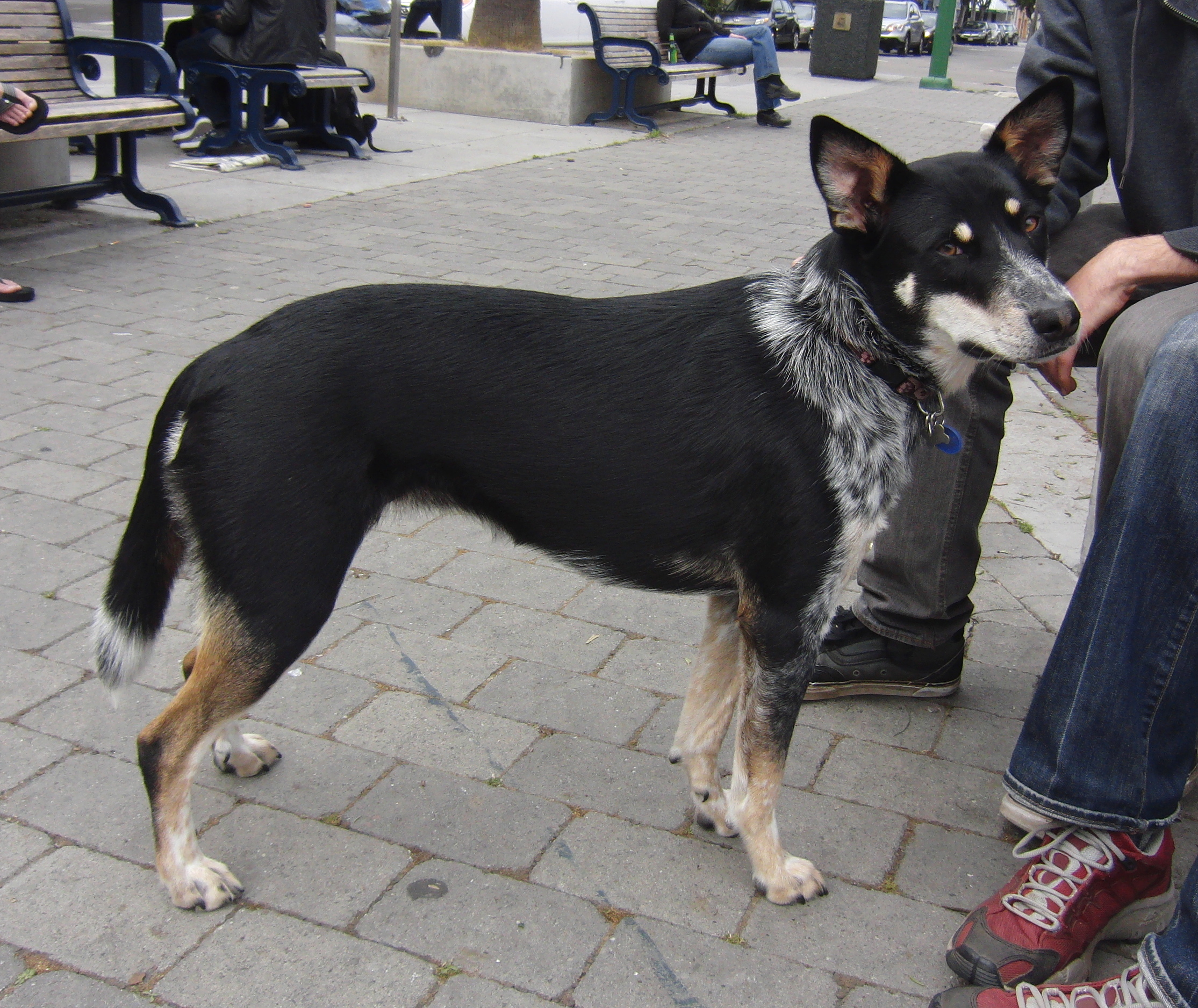 Australian Cattle Dog/German Shepherd Mix