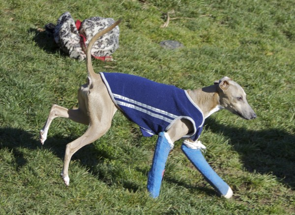 Italian Greyhound with Two Casts