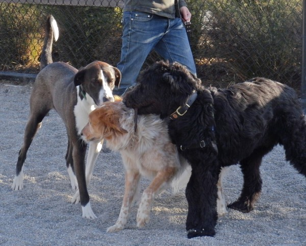 /Australian Shepherd, Friggin' Humongous Poodle, and Great Dane Mix