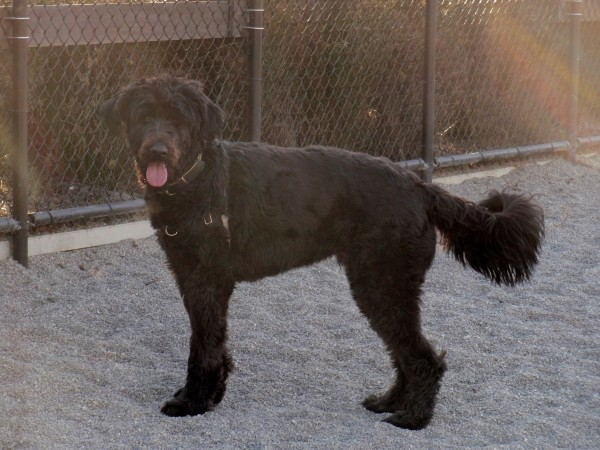 great dane poodle mix you might call him a great