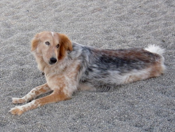 Collie/Australian Shepherd Mix
