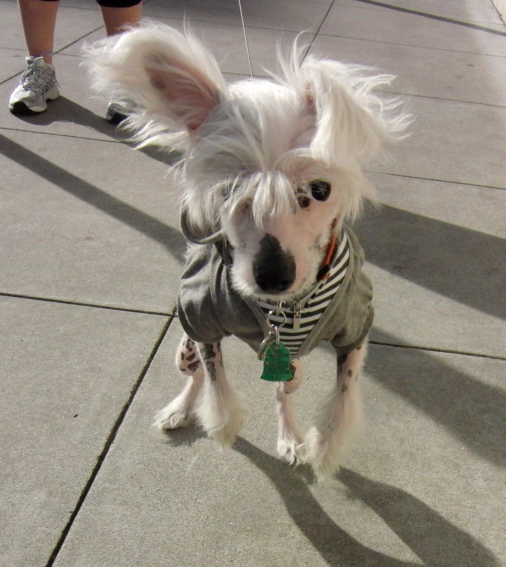 Chinese Crested Dog (Hairless Variety)