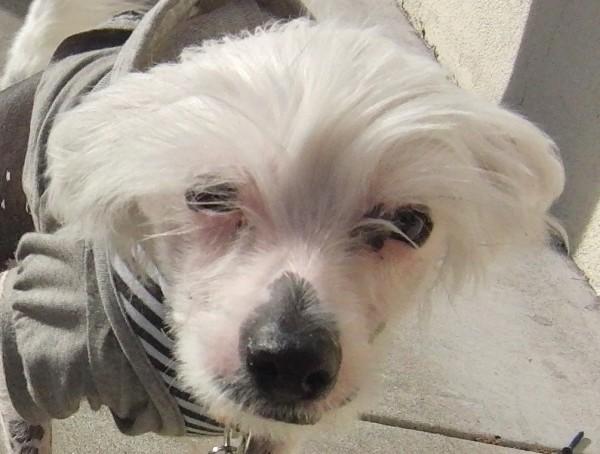 Chinese Crested Dog (Hairless Variety)