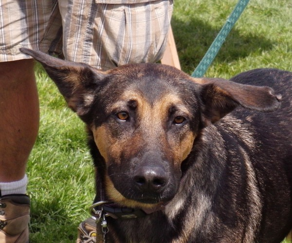 Dog Of The Day Goofy German Shepherd Mix The Dogs Of